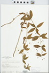Lysimachia quadrifolia L. by H. M. Parker