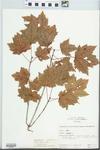 Acer rubrum Wats. by Hampton M. Parker