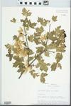 Acer glabrum Torr.