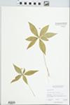 Trientalis borealis Raf. by M.I. Moore