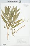 Lysimachia thyrsiflora L. by Steven R. Hill