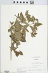 Lysimachia ciliata L. by Kathy Black