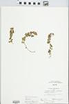 Lysimachia nummularia L.
