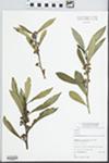 Tristaniopsis laurina (Sm.) Peter G.Wilson & J.T.Waterh.