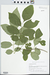Fraxinus americana L. by Gordon C. Tucker and Edwin H. Horning
