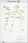 Lysimachia lanceolata Walter by John E. Ebinger