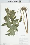 Lysimachia ciliata L. by Mary C. Hruska