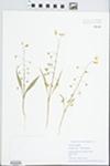 Claytonia virginica L. by Eileen Adler