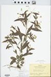 Lysimachia lanceolata Walter by Bart Moore
