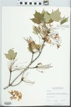 Acer rubrum Wats. by William James Cody and W. E. Kemp