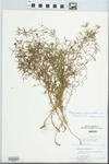 Polypremum procumbens L. by C. Leland Rodgers and S. Compton