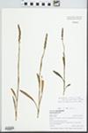 Spiranthes ovalis var. erostellata Catling
