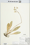 Dodecatheon meadia L. by J. Reed