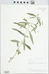 Lysimachia lanceolata Walter