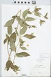 Lysimachia ciliata L. by S.C. Mueller