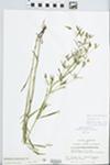 Lysimachia quadriflora Sims by S.C. Mueller