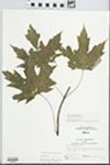Acer saccharinum L. by Larry Dennis
