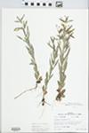 Lysimachia lanceolata Walter by R. Dale Thomas