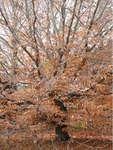 American Beech, close-up by Janice Coons, Nancy Coutant, and Wesley Whiteside