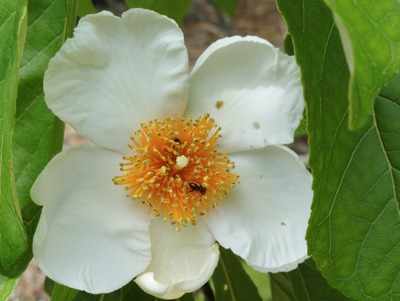 Franklin Tree, flower