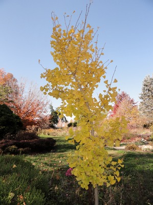 Autumn Gold Maidenhair Tree