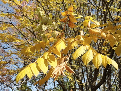 Goldenrain Tree, leaves