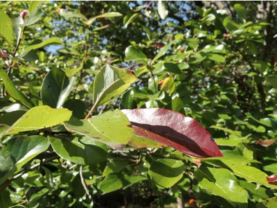 Blackgum, leaves
