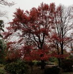 Blackgum, autumn by Janice Coons, Nancy Coutant, and Wesley Whiteside