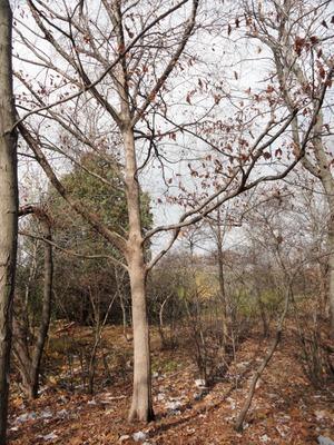 Hophornbeam, autumn
