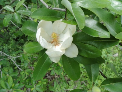Sweetbay Magnolia, flower